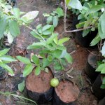 Selection-8 Guava Plant