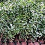 Lime Plant