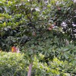 Chikoo Plant