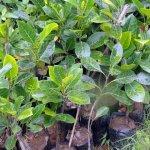 Jack Fruit Plant