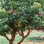 Apurnima Mango