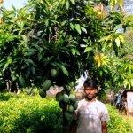 Banishan Mango