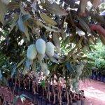 Amarpali Mango